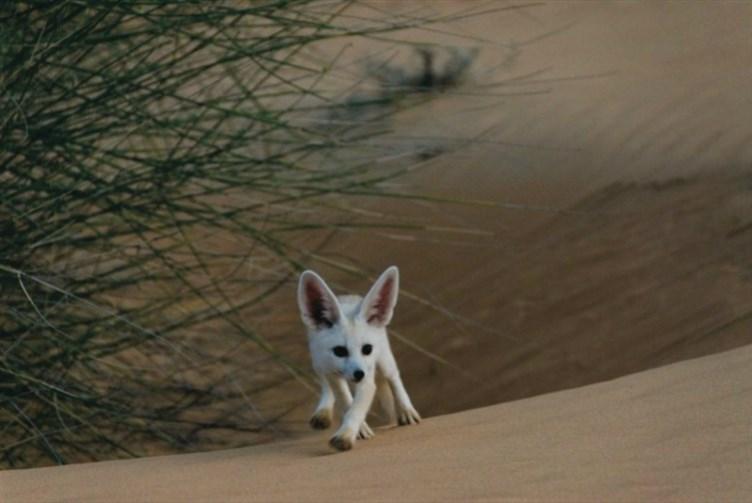 Desert Fox in the Dubai Desert Conservation Reserve