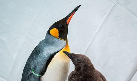 Ski Dubai Receiving The First Young King Penguins